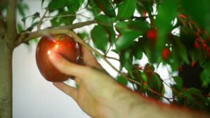 stock-footage-fruit-of-knowledge-garden-of-eden-story-about-satan-tempting-adam-with-the-fruit-of-knowledge